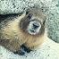 Marmotta_Mia
